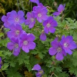 geranium-baby-blue-172-082
