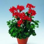 geranium-fireworks-scarlet